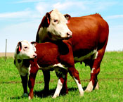 Cow calf image